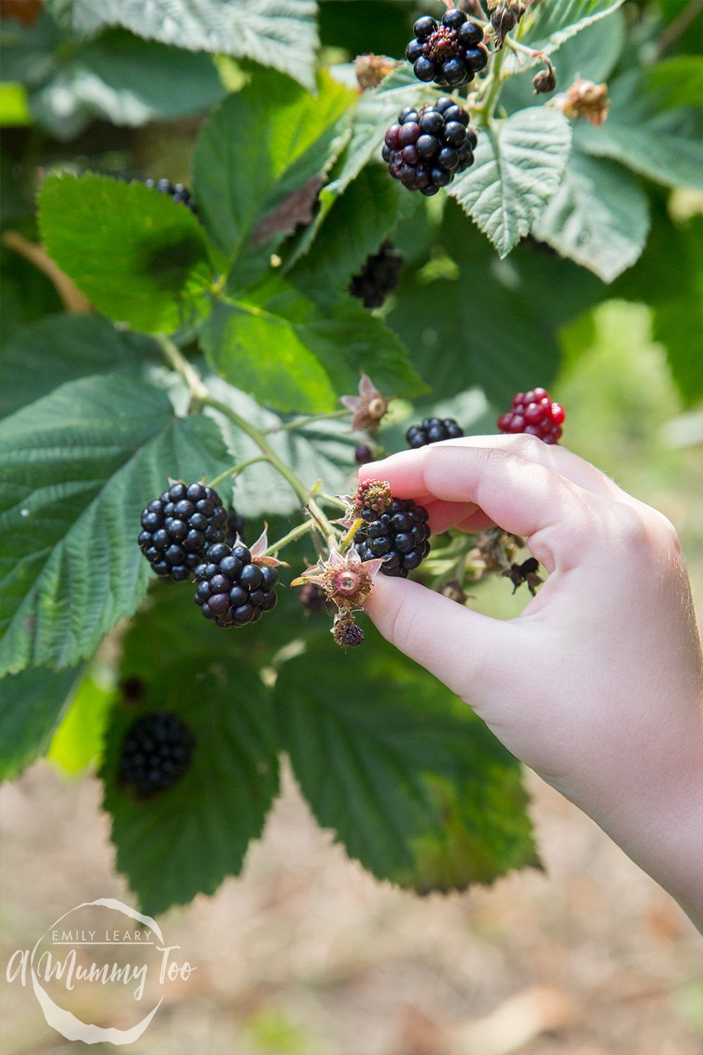 Picking blackberries at a 'pick your own' farm