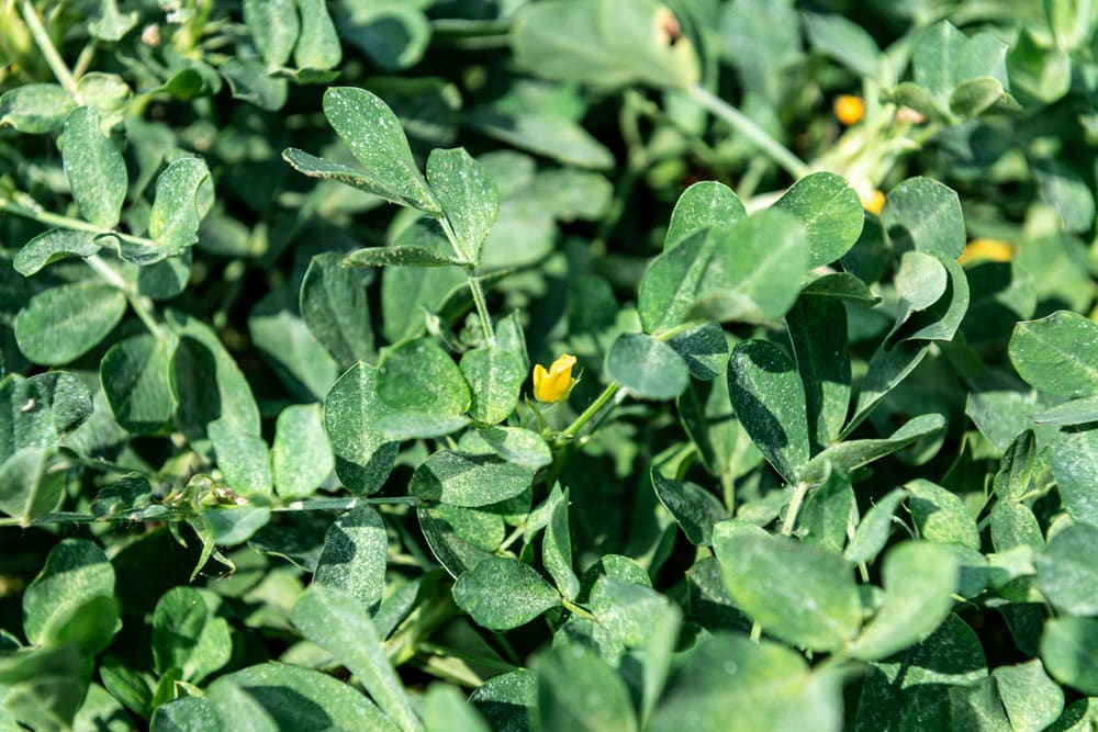 The green leaves and yellow flowers of a peanut plant.