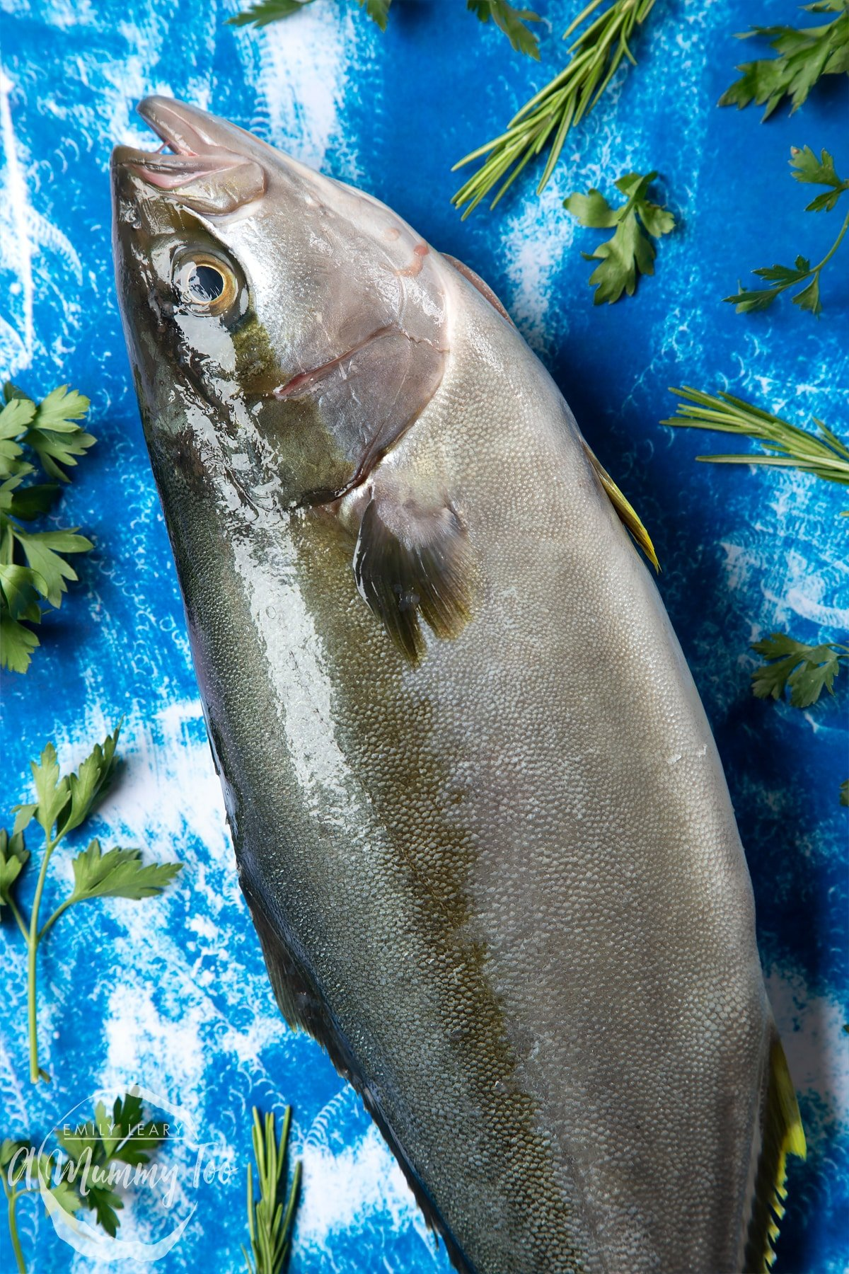 Focus on the head of a Dutch Yellowtail fish on a blue background